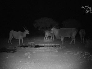 Eland group at night