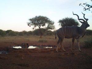 Kudu standing